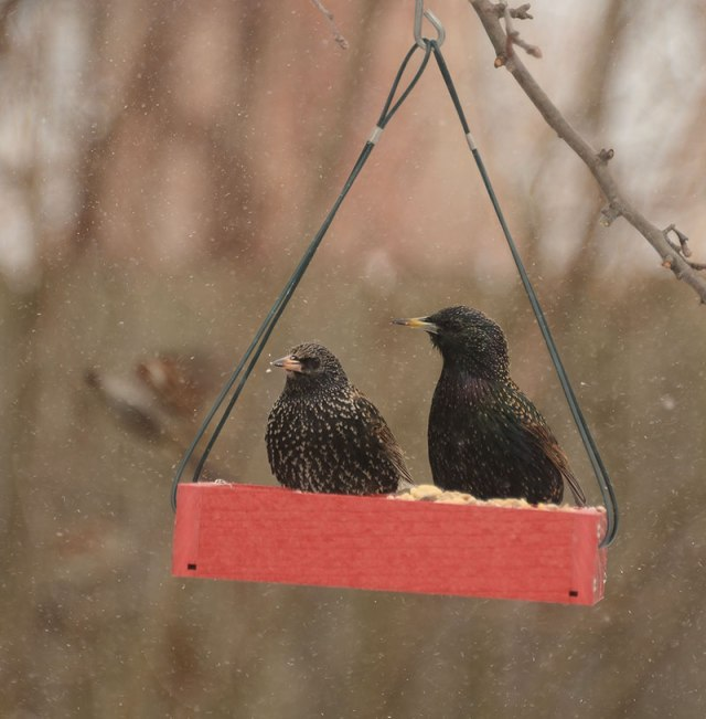 starlings1-24-14