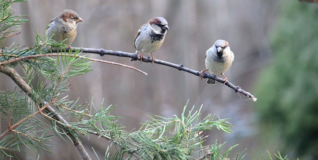 three_sparrows