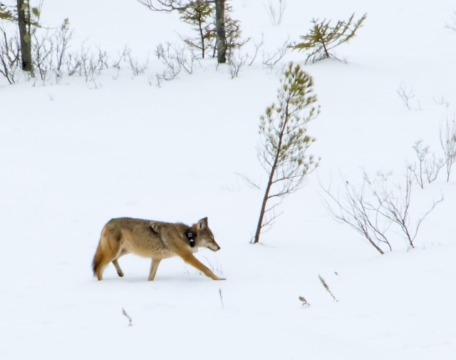 eastern-red-wolf