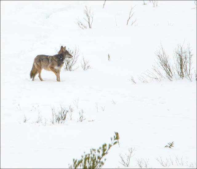 eastern-wolf