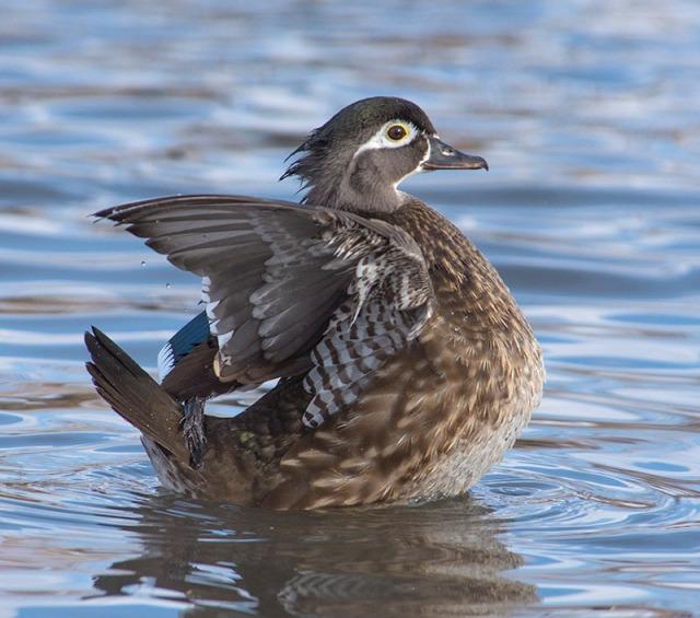 female-wood-duck