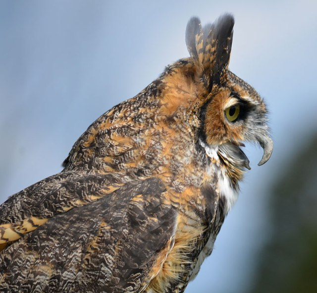 great-horned-owl-captive