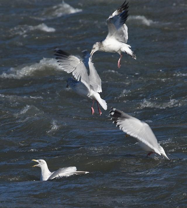 gull-biting-wing