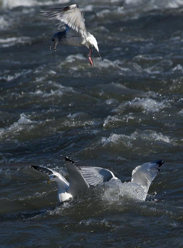 gull-drop