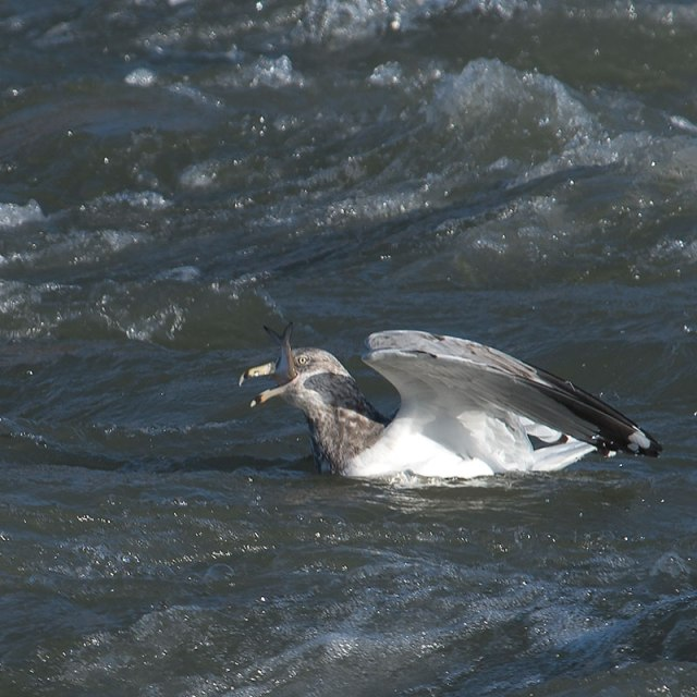 gull-with-fish