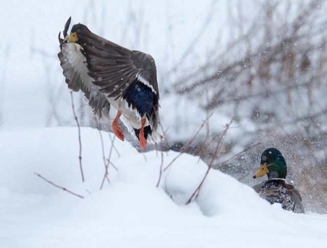 mallard-snowstorm