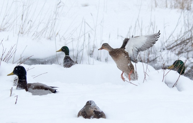 mallards-in-snow