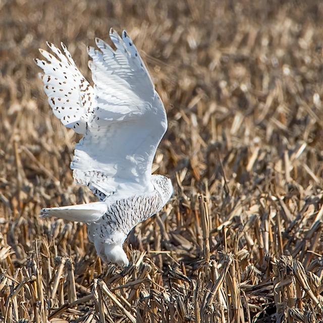 owl-on-hunt