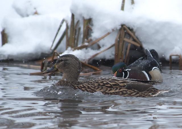 territorial-wood-duck