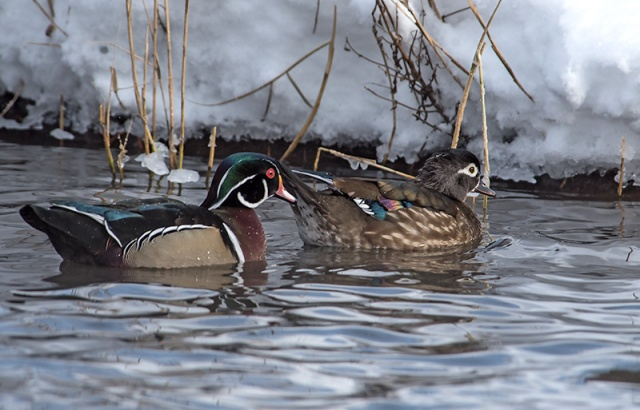 wood-duck-pair-swimming