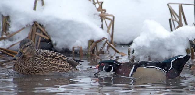 wood-duck-territory