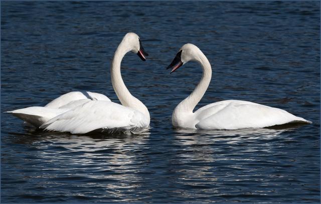 2-trumpeter-swans