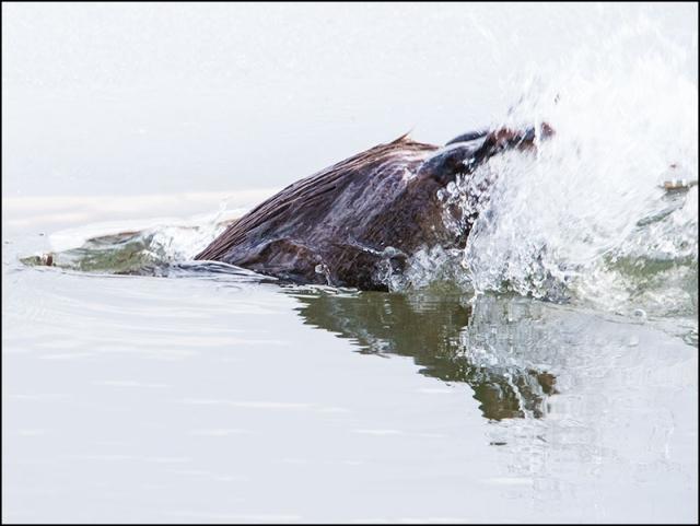 beaver-splash
