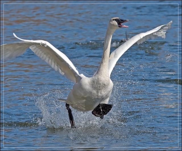 dancing-swan
