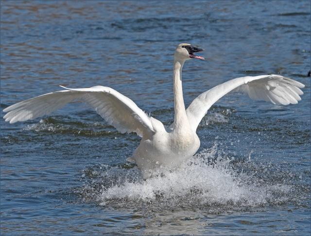 happy-swan