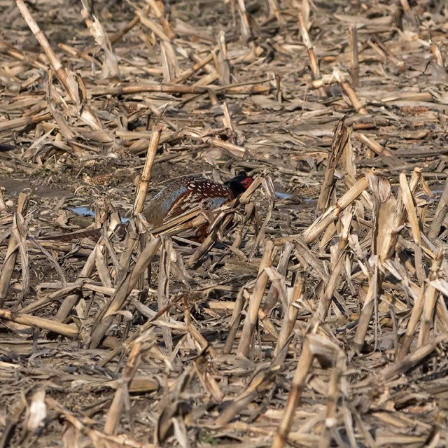 hiding-pheasant
