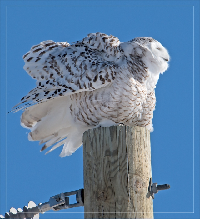snowy-owl-on