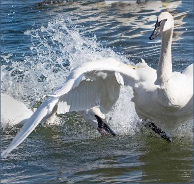 swan-fight-1