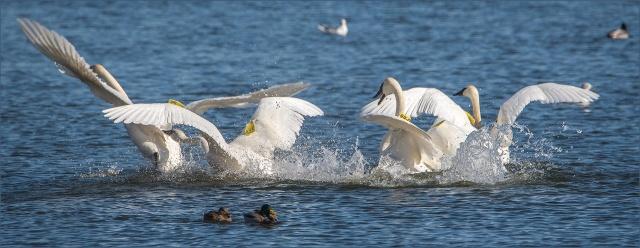 swan-fight