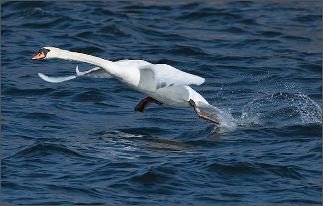 swan-taking-off