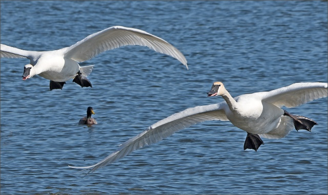 trumpeter-swans