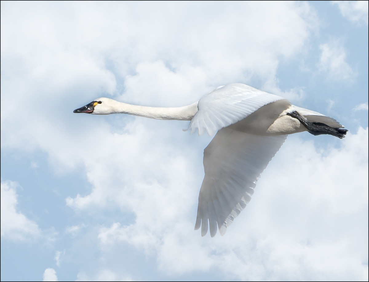 Tundra Swans Ready to Fly to the Next Staging Spot
