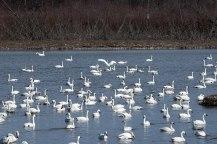 Swans-Flock